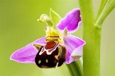 Image: Ophrys apifera, known as a bee orchid, belongs to the Orchidaceae family. (© David Clapp/Getty Images)