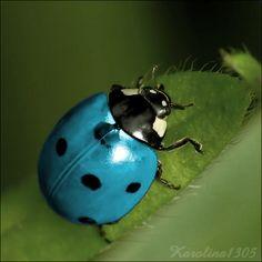 ♥LB♥ 18 Blue Ladybug | Blue ladybug by Karolina1305 on deviantART Poisonous Ladybugs, Beautiful Bugs, Lady Bugs, Blue Beetle, Beetle Bug, Yellow Ladybug, Baby Ladybug, Cool Insects, Bugs And Insects