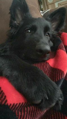 Black German Shepherd dogs mix has resulted in other breeds of dogs like Pugs, Collies, Huskies, and more.This brings out best qualities of both dog breeds. Beautiful Dogs, Animals Beautiful, Black Dog Day, Black Dogs, Black Puppy, Black German Shepherd Puppies, Black German Shepherds, Black Shepherd, Cute Puppies