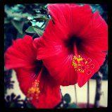 Ibiscus....nel suo colore rosso intenso
