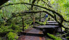 Deep in Tasmania's Styx Valley wilderness area, discover a centuries-old forest housing the world's tallest hardwood trees like the tall Gandalf's Staff Tasmania Road Trip, Tasmania Travel, Giant Tree, Big Tree, Travel Oz, Forest House, Adventure Is Out There, Australia Travel, The Great Outdoors