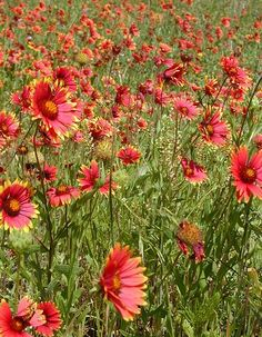 Photo - Indian Blanket / Fire Wheel (Gaillardia pulchella), field of flowers