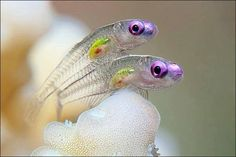 Two gobies, MarsaAlam, Egypt. (Photo: Tobias Friedrich) A fleeting encounter of two translucent goby fish won the top prize at the 2011 Annual Underwater Photography Contest, hosted by the University of Miami, judges announced April Underwater Creatures, Underwater Life, Underwater Photos, Ocean Creatures, Underwater Photography, Photography Pics, Amazing Photography, Landscape Photography, Nature Photography