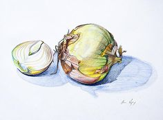 Onion - Colored pencil sketch of onions by Aaron Spong -  http://aaron-spong.artistwebsites.com