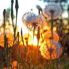 "oldfarmhouse:  ""Dandelion Dreams @1nstagraam  """