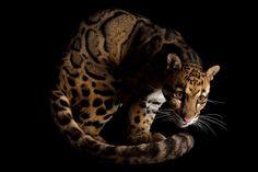 チーター 獵豹 Cheetah    トラ減少で希少なウンピョウが新たな標的に? | ナショナルジオグラフィック日本版サイト