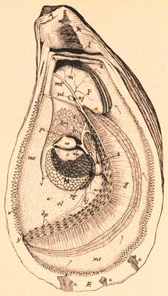 My next tattoo for my  dad oyster anatomy Huur de Oesterkoning in voor uw party www.oesterkoning.nl