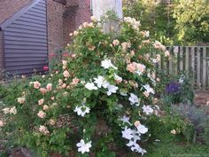 'Crépuscule ' Rose  with white clematis