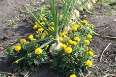 Some flower and vegetable plants work best when planted together.