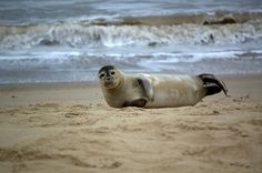 One of my favourite places to go in Norfolk. Horsey Beach to see the seals. Norfolk Broads, Norfolk Coast, Norfolk Virginia, Beautiful Places To Live, Best Places To Live, Oh The Places You'll Go, Virginia Vacation, Virginia Beach, Vacation