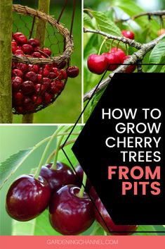 Try growing cherry trees with these fruit gardening tips. Learn how to save and start pits to grow your own cherry trees. Growing Cherry Trees, Growing An Avocado Tree, Fruit Plants, Fruit Garden, Herbs Garden, Garden Seeds, Planting Seeds, Cherry Plant, Cherry Fruit Tree