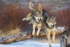 Loups - wolves