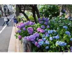 フランスのアジサイが続いたので、 今日は日本のアジサイ風景です。       ・・・アジサイの通学路・・・   雨が降っても降らなく...