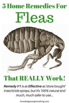 Try these home remedies for fleas, and the DIY flea trap, to get rid of the fleas in your home. Remedy #1 is as effective as store bought spray insecticide!