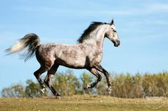American Saddlebred, Horse Breeds, Beautiful Horses, Ponies, Colors, Pretty, Animals, Pretty Horses, Animales