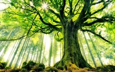 Mighty giant tree wallpaper #