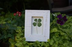 Real Genuine Four Leaf Clover good luck by SoldierCreekDesigns