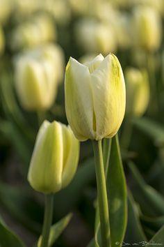 Tulpen – 2013