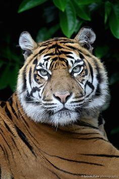 The stunning female Sumatran Tiger named Kirana at Chester Zoo…