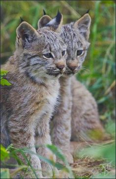 Animals in winter the canadian encyclopedia lynxthe maine coon lynx kittens about 2 months old at the yukon wildlife preserve near whitehorse by dan newcomb freerunsca Choice Image
