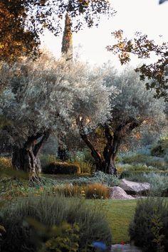 Olive trees | Rudd Oakville Estate, Napa Valley