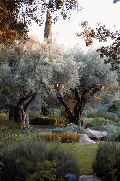 Olive trees | Rudd Oakville Estate, Napa Valley
