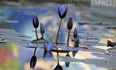 Lotus flowers bloom in a pond in Chandigarh, India. #photos #nature #India