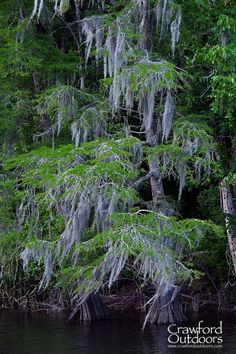Moss-draped cypress tree along a Louisiana bayou.