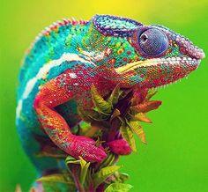 Comienza así nuestra historia: Un camaleón orgulloso, que se burlaba de los demás por no cambiar de color como él. Pasaba el día diciendo: ¡Que bello soy!. ¡No hay ningún animal que vista tan señor...