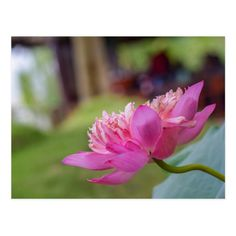 Nelumbo nucifera, also known as Indian lotus, sacred lotus, bean of India, Egyptian bean or simply lotus, is one of two extant species of aquatic plant in the family Nelumbonaceae. It is often colloquially called a water lily.