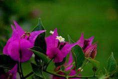Средиземноморские растения: Бугенвиллеи