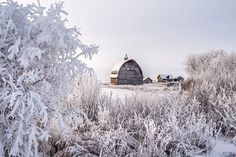 famous_amos_photography Hoar frosted trees adding beauty to this old farmyard near #sexsmith #hoarfrost #frost #oldbarn #heritage #instawow #wintertime #travelalberta #travelcanada Read more at http://websta.me/n/famous_amos_photography#uDMuXDEos69XJ0dw.99