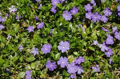 Vinca minor vines are a popular choice of plants for with dry-shade areas. Vinca minor vines bear a bluish flower in spring. Periwinkle Plant, Periwinkle Flowers, Purple Flower Ground Cover, Ground Cover Shade, Garden Shrubs, Shade Garden, Garden Plants, Gardens, Home