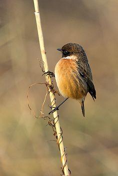 Dit vogeltje is een roodborsttapuit.