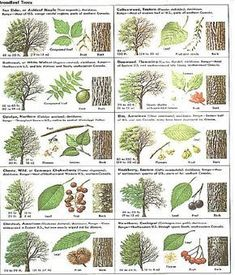 Identify trees with pictures - I like that this includes several views, including the bark of trees, leaves leaf chart