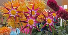 Dahlias are all about variety