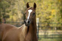 Shes All That Jaz (Radaar Love x MY Roxy Hart) 2011 chestnut SE mare bred by Meierotto Arabians, Wisconsin - Strain: Dahmah Shahwaniyah ~ Tail Female: El Dahma