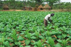 African plantation employee working amid green tobacco leaves on farm ...