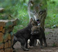 I love wolves so much! I want a baby one really bad