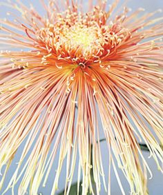 Spider Chrysanthemum 'Fantasy Miss Atlanta'