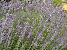 Lavandula / lavande, floraison mauve de juin à juillet