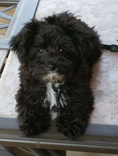 "Yorkie poo looks like my ""Joey"" Cute Puppies, Cute Dogs, Dogs And Puppies, Yorkie Poodle, Poodles, Animals And Pets, Cute Animals, Shih Poo, Diy Dog Costumes"