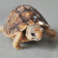 Endangered Egyptian Tortoise