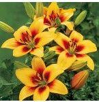 Asiatic Lily Grand Cru