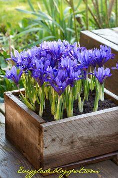 I haven hos Evigglade ♥ My iris reticulata