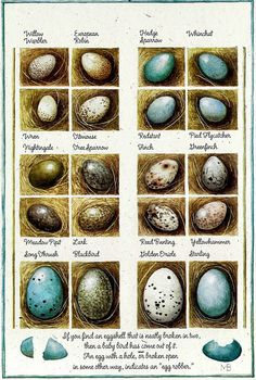 All about bird eggs | Leren over eitjes van vogels | Marjolein Bastin | #eggs #education #birds | See more at http://www.pinterest.com/RoosGast/