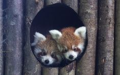 Red panda cubs at Drusillas Park in Sussex - Mya (left) and Anmar (right) exploring the nest box.
