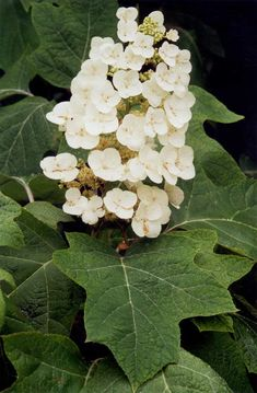 Alabama:Large spikes of white blooms in April and May rise above large green oak-shaped leaves. In summer, these blossoms turn a deep rose color and persist into the winter. The leaves turn red in the fall and the peeling bark of the stems and branches add to its attractive appearance.