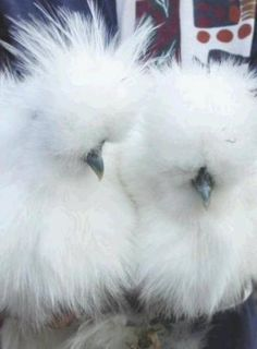 Silkie Chickens....my favorite! :)