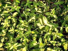 Live-Plant-Ground-Cover-Creeping-Evergreen-All-Year-Garden-land-scape-free-ship